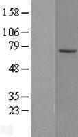 NBL1-12334 - KLHL13 Lysate