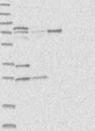 NBP1-85926 - Kelch-like protein 17
