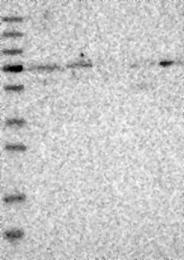 NBP1-81559 - Kelch-like protein 20