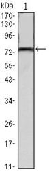 NBP1-51656 - Kelch-like protein 22