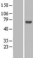 NBL1-12338 - KLHL25 Lysate