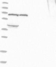 NBP1-92059 - KLHL36