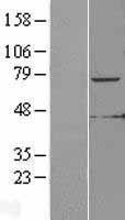 NBL1-12341 - KLHL6 Lysate