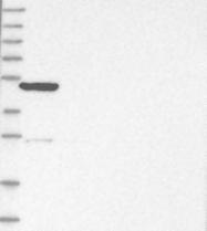 NBP1-82871 - KLHL7