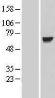 NBL1-12342 - KLHL7 Lysate