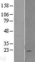 NBL1-12364 - KLRC4 Lysate