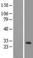 NBL1-12366 - KLRF1 Lysate