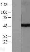 NBL1-16625 - KMT1A / SUV39H1 Lysate