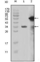 NBP1-51542 - MLL / HRX