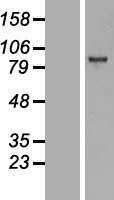 NBL1-10399 - KMT6 / EZH2 Lysate