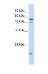 NBP1-58067 - KPNA2 / Importin alpha-2