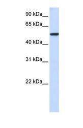 NBP1-52976 - KPNA3 / Importin alpha-3