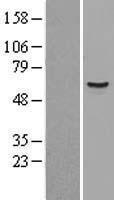 NBL1-12371 - KPNA3 Lysate