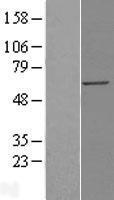 NBL1-12372 - KPNA4 Lysate