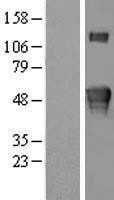 NBL1-12378 - KREMEN2 Lysate