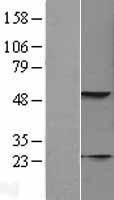 NBL1-12389 - KRT23 Lysate