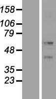 NBL1-12400 - KRT86 Lysate