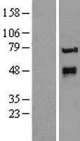 NBL1-12413 - KTELC1 Lysate