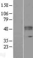 NBL1-12414 - KTELC1 Lysate