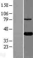 NBL1-12415 - KTI12 Lysate