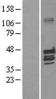 NBL1-12141 - KV-BETA-1 Lysate