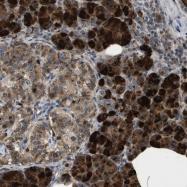 NBP1-87794 - KLK10 / Kallikrein-10