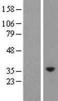 NBL1-12345 - Kallikrein 10 Lysate