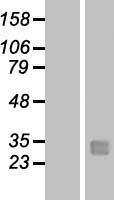 NBL1-12347 - Kallikrein 12 Lysate