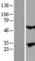 NBL1-12348 - Kallikrein 13 Lysate