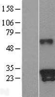 NBL1-12358 - Kallikrein 9 Lysate