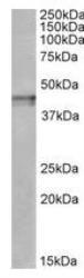 NBP1-68860 - Kappa Opioid Receptor