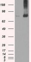 NBP1-47745 - FERMT2 / PLEKHC1