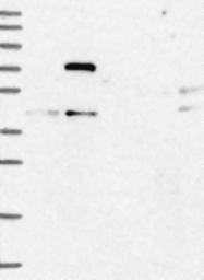 NBP1-87884 - FERMT2 / PLEKHC1