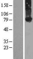 NBL1-10677 - Kindlin-2 Lysate
