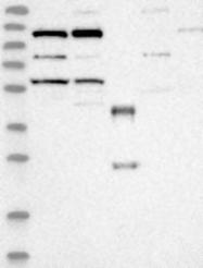 NBP1-87429 - KIF5C