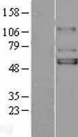 NBL1-12170 - Kir3.1 Lysate