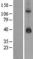 NBL1-12175 - Kir3.3 Lysate