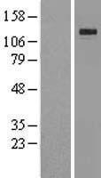 NBL1-12307 - Klotho Lysate