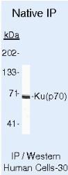 NB100-1915 - XRCC6 / Ku70