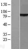 NBL1-17918 - Ku80 Lysate
