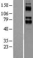 NBL1-12144 - KCNC4 Lysate