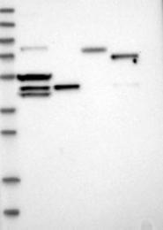 NBP1-82864 - KCND3