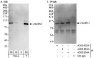 NBP1-47314 - L3MBTL3
