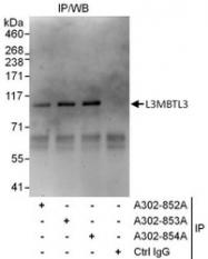 NBP1-47315 - L3MBTL3