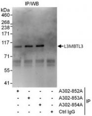 NBP1-47316 - L3MBTL3