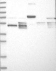 NBP1-89215 - LACE1