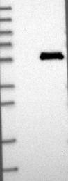NBP1-89216 - LACE1