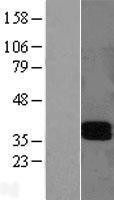 NBL1-12426 - LAIR1 Lysate