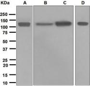 NBP1-95696 - CD107b / LAMP2