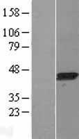 NBL1-12433 - LANCL1 Lysate